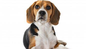 vacunas perro