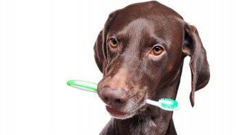 limpieza dental perros y gatos