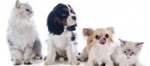 como limpiar los oidos a un perro